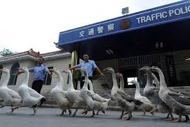 police-geese